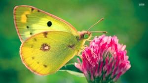 Yellow butterfly, kipepeo