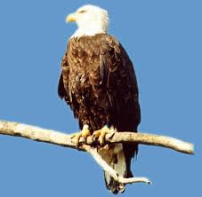 Wild Animals wallpaper possibly with a bald eagle entitled asd
