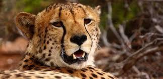 Wild Animals wallpaper with a cheetah titled asd