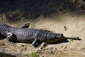 Wild Animals wallpaper possibly containing an american alligator entitled asd