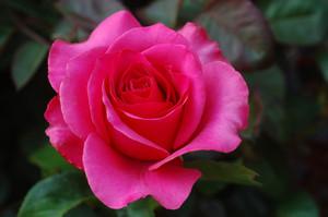 ピンク rose
