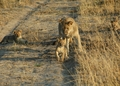 2 of Cecil's cubs with their mom - lions photo