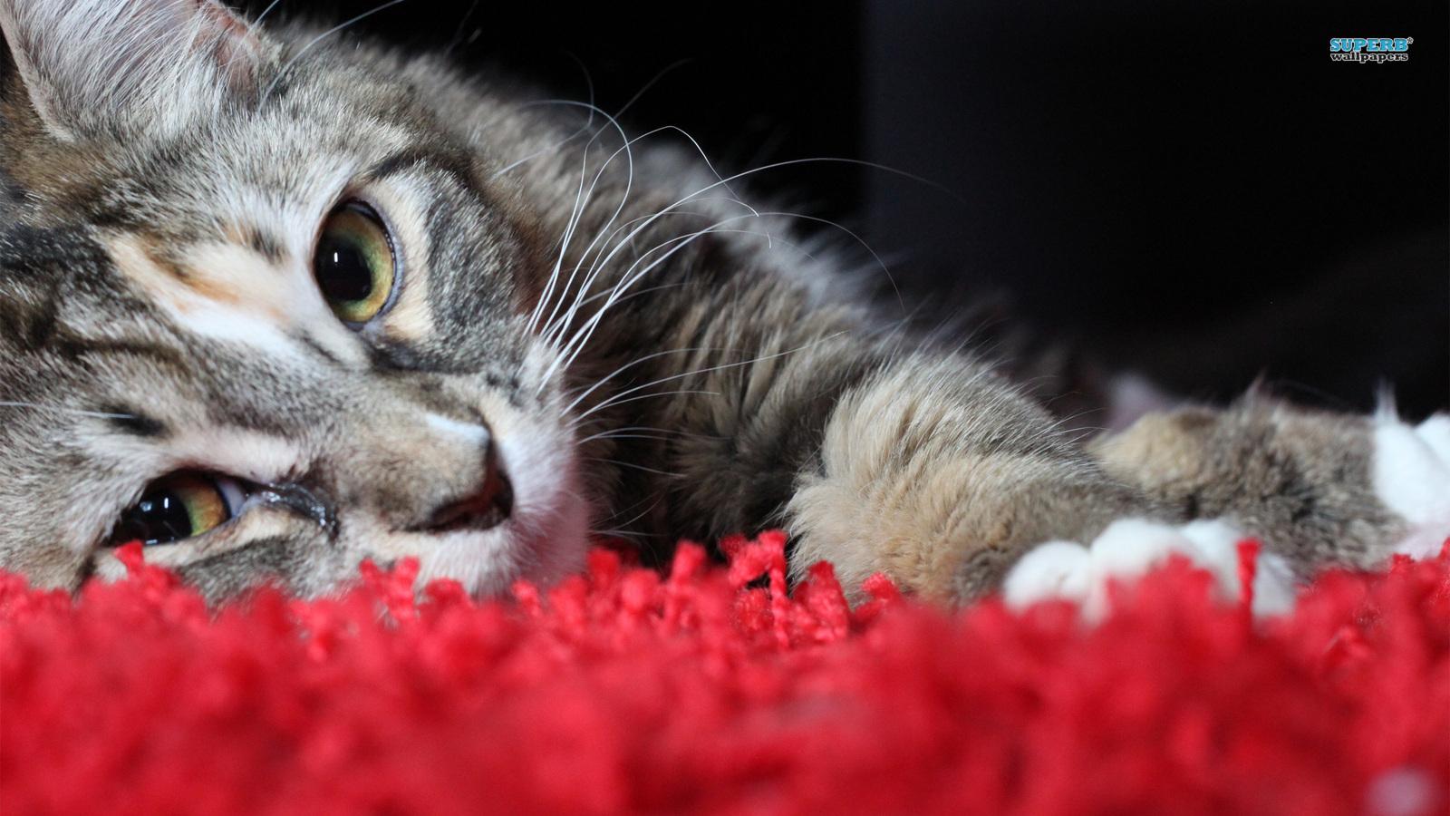 壁纸 动物 狗 狗狗 猫 猫咪 小猫 桌面 1600_900