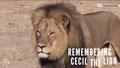 Cecil...R.I.P. - lions photo
