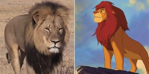 Cecil and Simba,2 lion kings