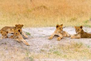 Cecil cubs