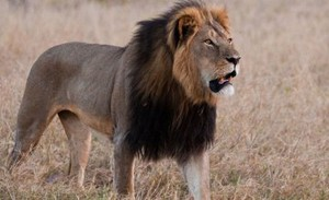 Cecil the lion... R.I.P