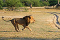 Cecil,the lion - lions photo