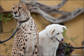 Cheeta with her dog buddy companion at San Diego Zoo - cheetah photo
