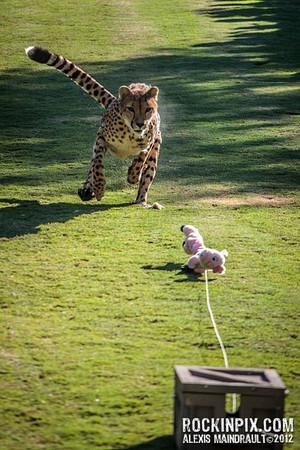 Cheetah Run San Diego Safari Park