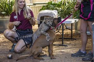Cheetah cub playing with her dog companion San Diego Safari Park