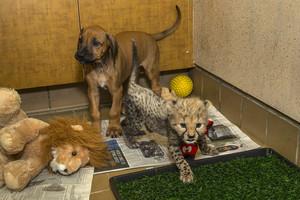 Cheetah cub with her tuta companion,San Diego Safari Park