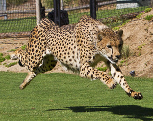 Cheetah run San Diego Safari Park