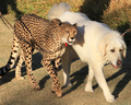 Cheetah with her dog buddy companion San Diego Safari Park - cheetah photo
