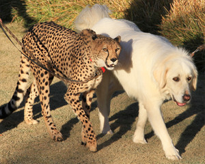 Cheetah with her dog buddy companion San Diego Safari Park