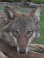 DSCF8814  2 .JPG - wolves photo