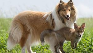 Dog and Baby cáo, fox