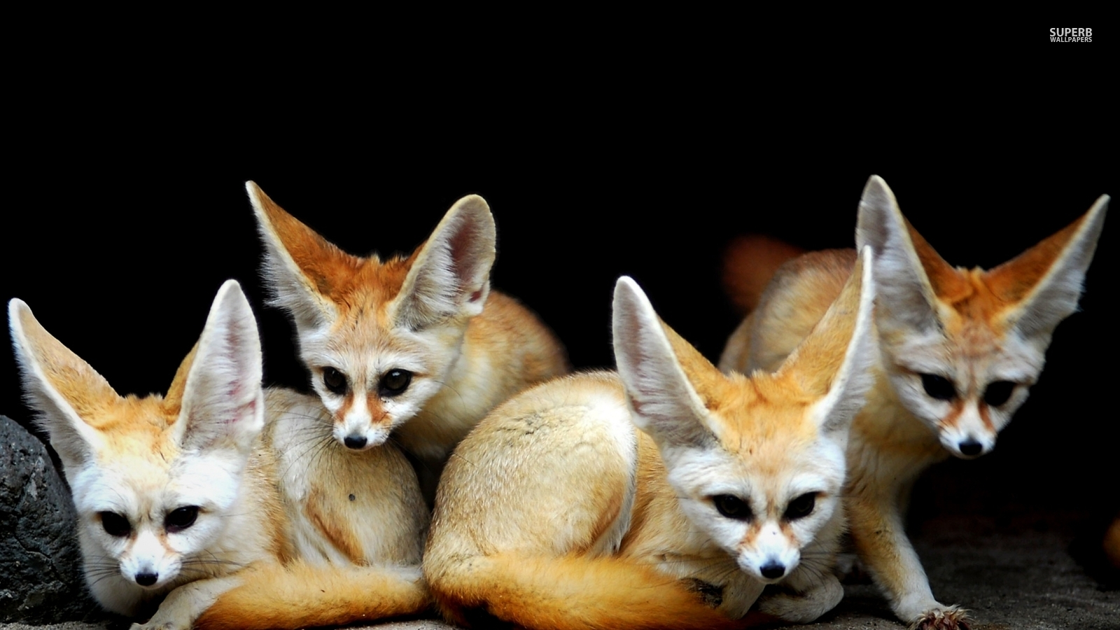 Fennec Foxes Animals Wallpaper 38721400 Fanpop