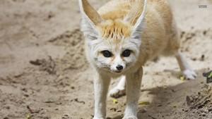 Fennec vos, fox
