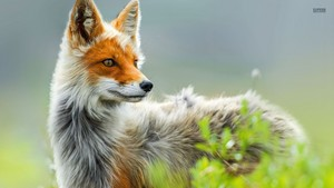 rubah, fox
