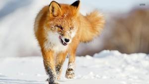 cáo, fox