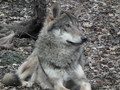 Gentle wolf - wolves photo