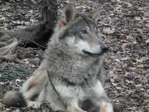 Gentle 늑대