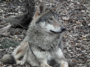 Gentle волк