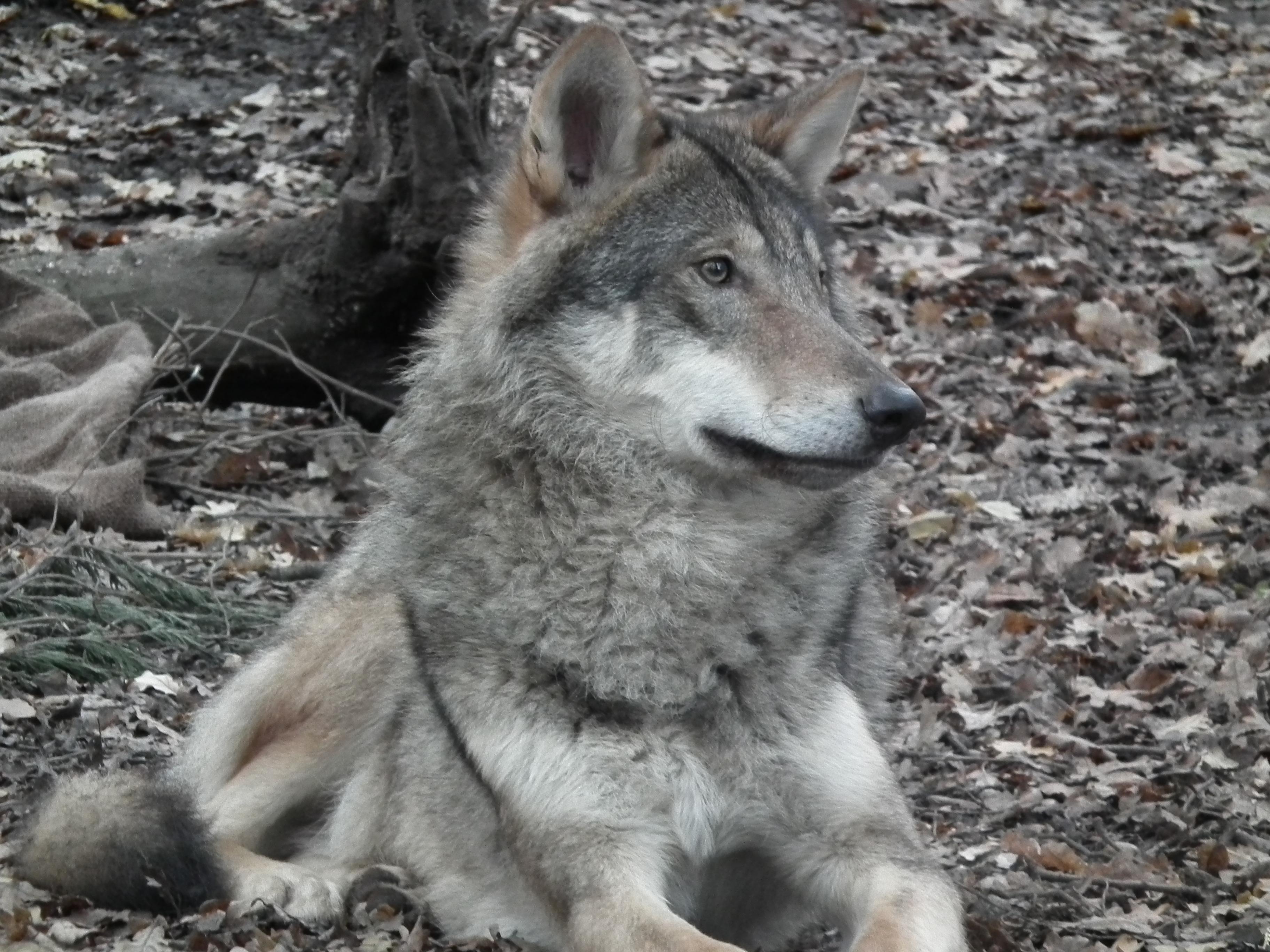 Gentle serigala