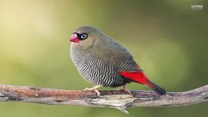 Gouldian chim hoa mai, chim ưng, finch