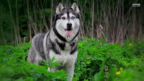 कुत्ता वॉलपेपर probably containing a siberian husky entitled Husky