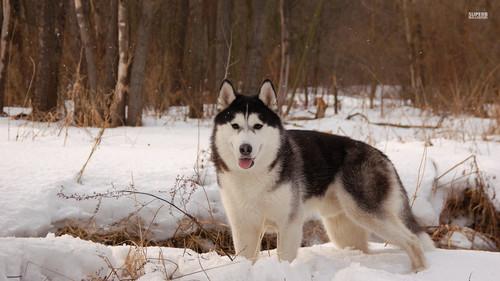 कुत्ता वॉलपेपर entitled Husky