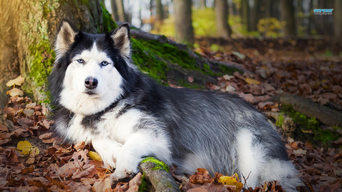Siberian Huskies wallpaper probably with a siberian husky called Husky