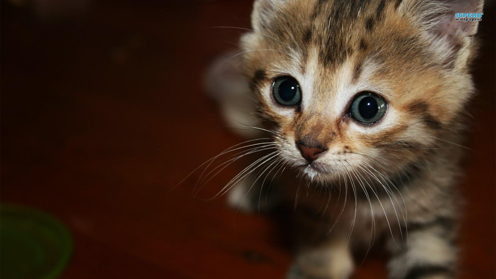 壁纸 动物 灵长目 猫 猫咪 小猫 桌面 1600_900
