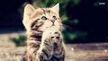 Kitten - cats wallpaper