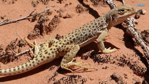 Leopard con thằn lằn, thằn lằn