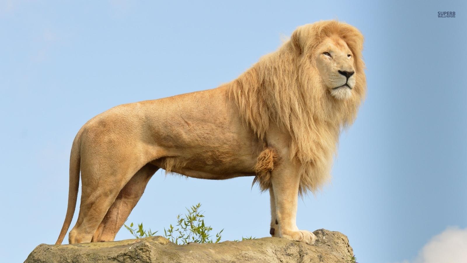 壁纸 大象 动物 狮子 桌面 1600_900