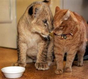 Lion cub bonds with a cat