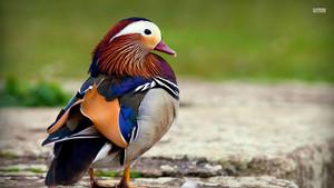 Mandarin itik