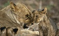 Mother lioness and cub - lions photo