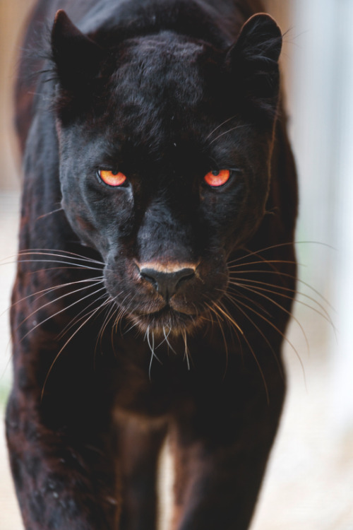 Animals Images Panther Hd Wallpaper And Background Photos 38729974