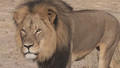 R.I.P Cecil  - lions photo
