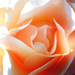 Rose♔  - daydreaming icon