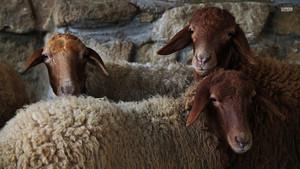 kambing biri-biri