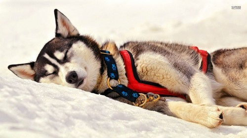 Siberian Huskies wallpaper possibly with a sled dog and a musher titled Siberian Husky