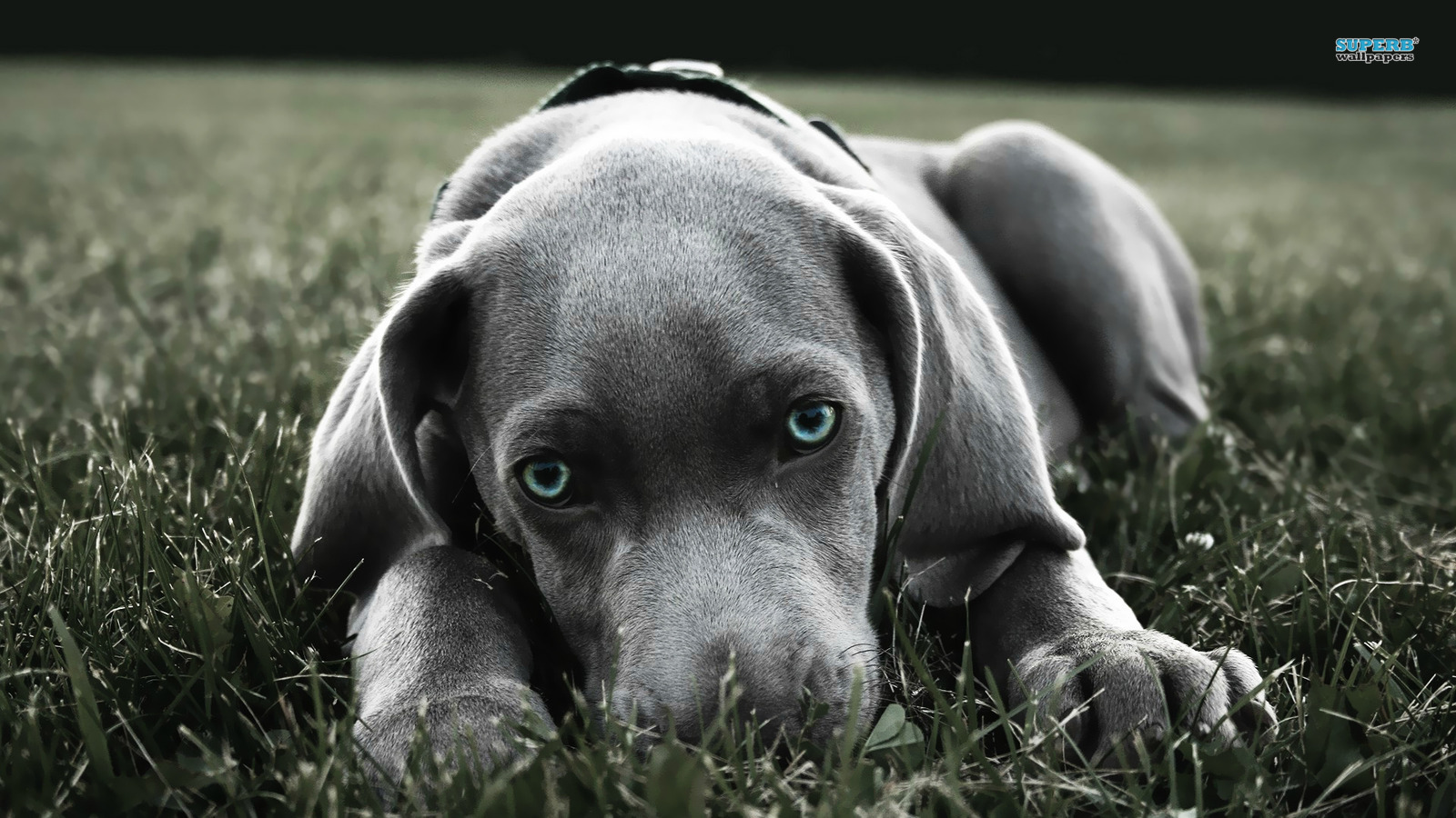Weimaraner - Dogs Wallpaper (38731358) - Fanpop