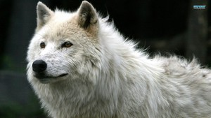 White serigala, wolf