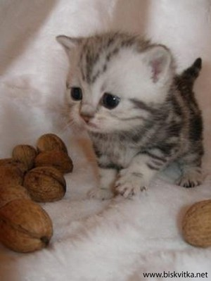 awwww...walnut cat <3