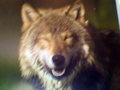 this is cute - wolfs-rain photo