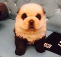 Panda Dog - dogs photo